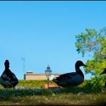 Swedish Ducks © C Andersson